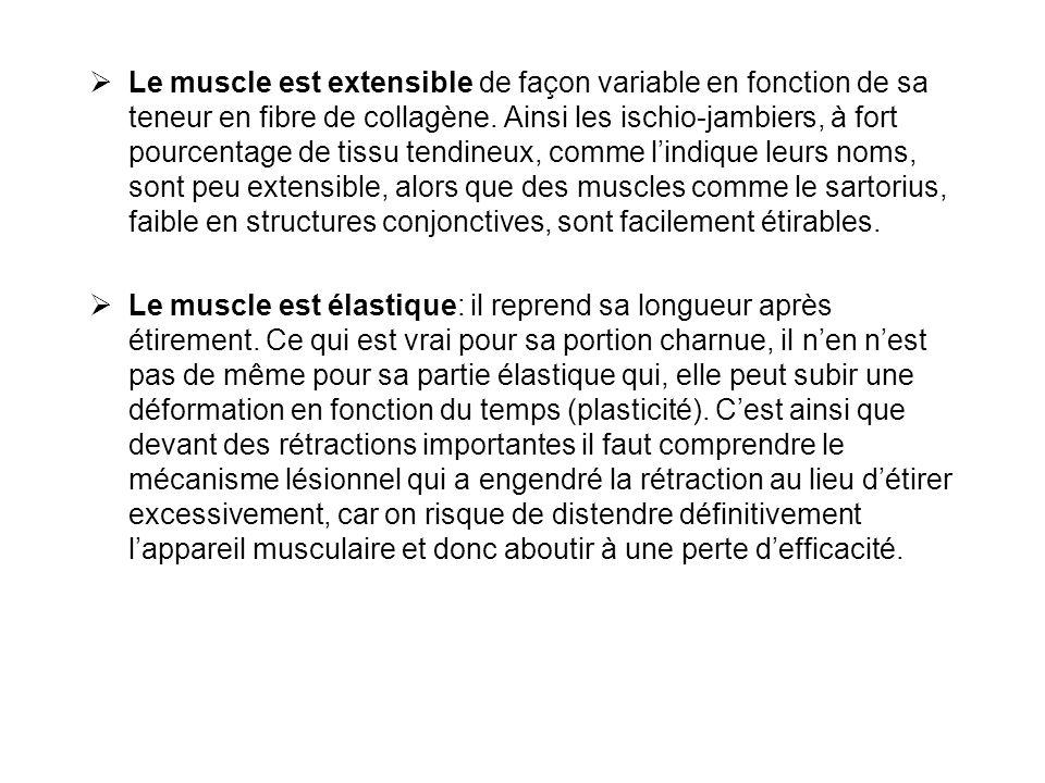  Le muscle est extensible de façon variable en fonction de sa teneur en fibre de collagène. Ainsi les ischio-jambiers, à fort pourcentage de tissu te