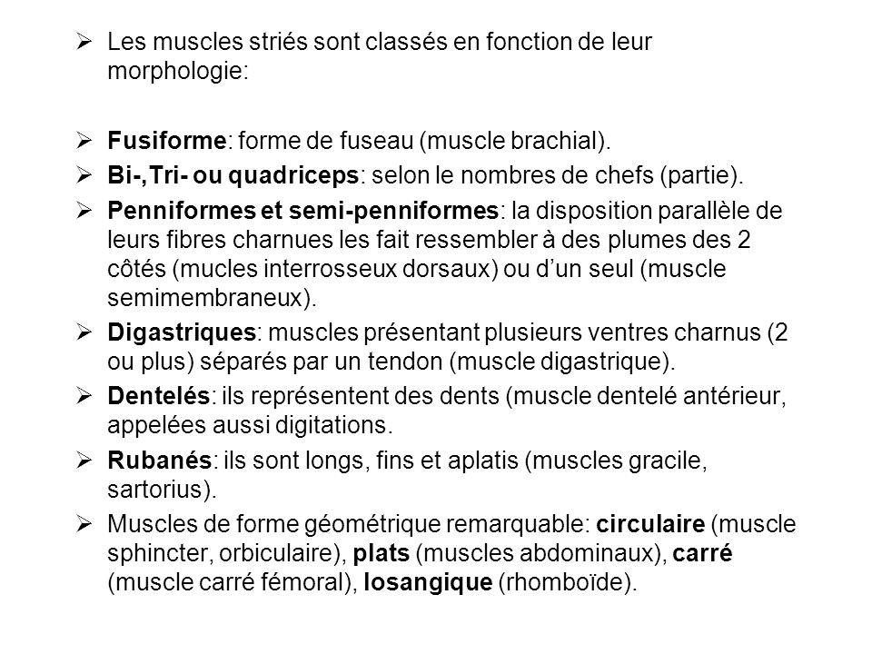  Les muscles striés sont classés en fonction de leur morphologie:  Fusiforme: forme de fuseau (muscle brachial).  Bi-,Tri- ou quadriceps: selon le