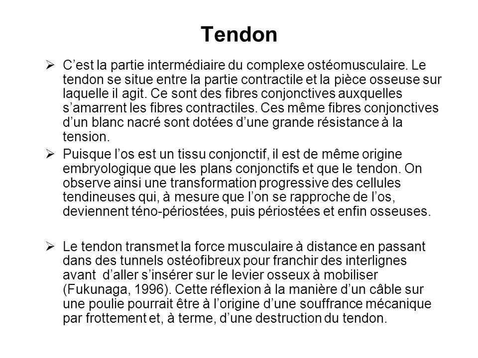 Tendon  C'est la partie intermédiaire du complexe ostéomusculaire. Le tendon se situe entre la partie contractile et la pièce osseuse sur laquelle il
