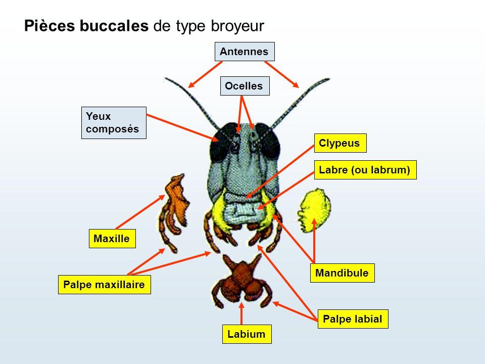 Pièces buccales de type broyeur Ocelles Antennes Labre (ou labrum) Clypeus Mandibule Yeux composés Maxille Palpe maxillaire Palpe labial Labium