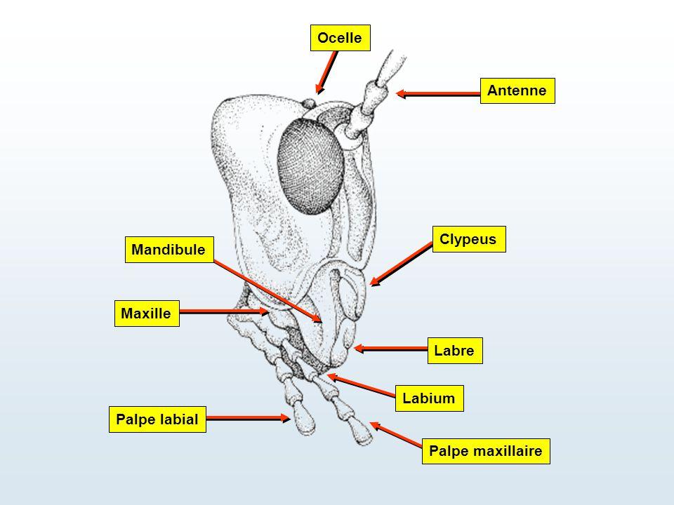 Ocelle Antenne Maxille Labre Palpe labial Palpe maxillaire Clypeus Mandibule Labium
