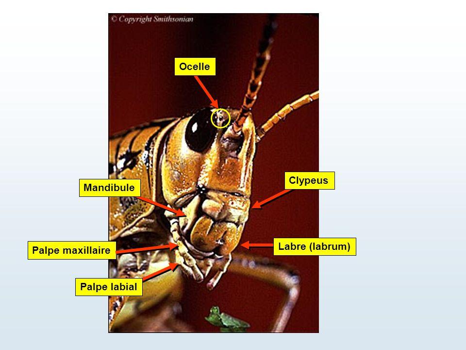 Palpe maxillaire Labre (labrum) Clypeus Mandibule Palpe labial Ocelle