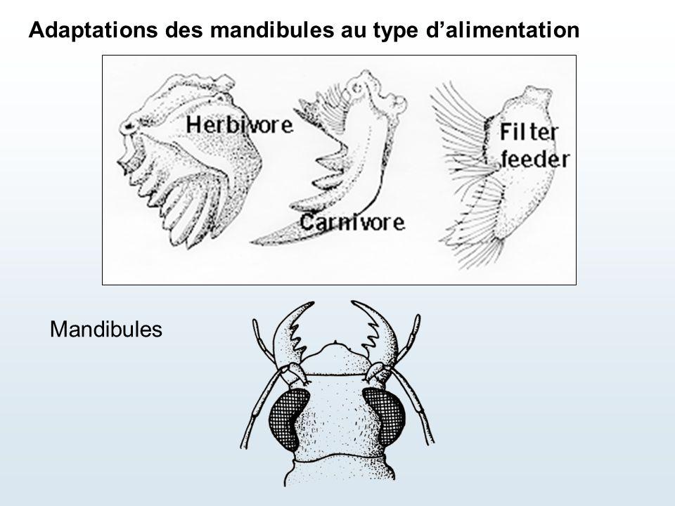 Mandibules Adaptations des mandibules au type d'alimentation