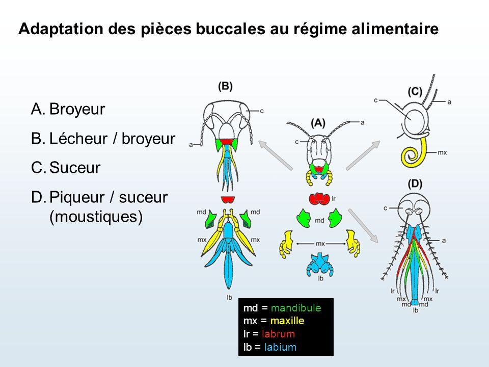 Adaptation des pièces buccales au régime alimentaire A.Broyeur B.Lécheur / broyeur C.Suceur D.Piqueur / suceur (moustiques) md = mandibule mx = maxill