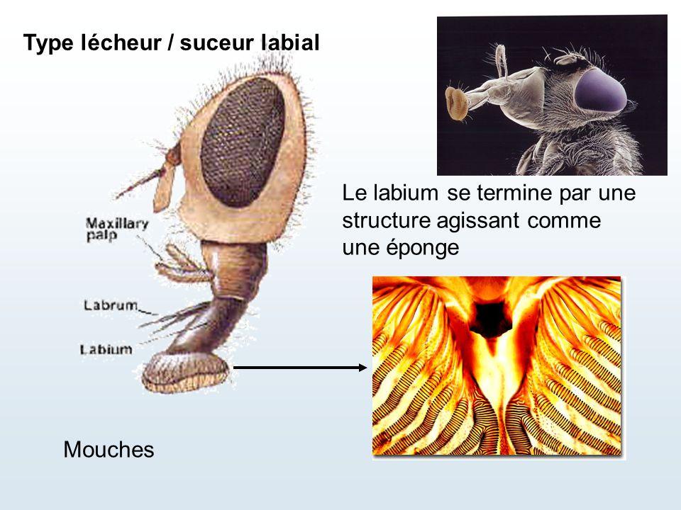 Mouches Le labium se termine par une structure agissant comme une éponge Type lécheur / suceur labial