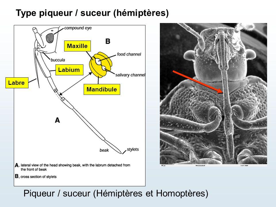 Mandibule Maxille Labium Labre Piqueur / suceur (Hémiptères et Homoptères) Type piqueur / suceur (hémiptères)