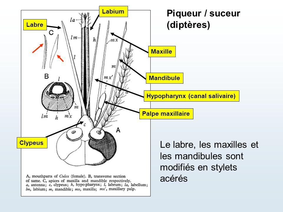 Piqueur / suceur (diptères) Mandibule Maxille Palpe maxillaire Hypopharynx (canal salivaire) Le labre, les maxilles et les mandibules sont modifiés en