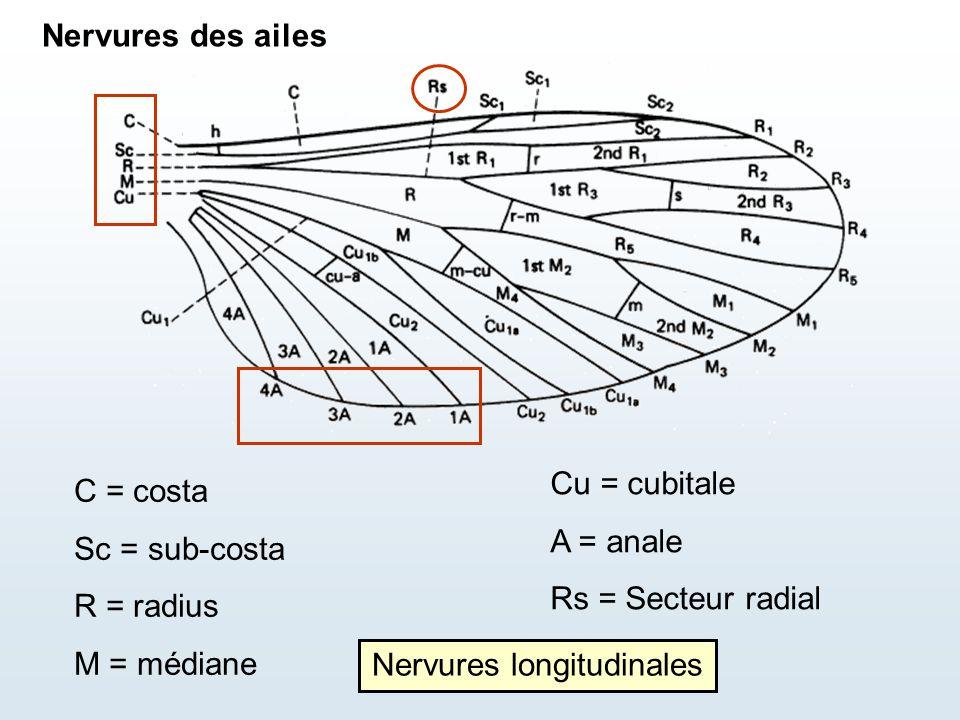 C = costa Sc = sub-costa R = radius M = médiane Cu = cubitale A = anale Rs = Secteur radial Nervures longitudinales Nervures des ailes