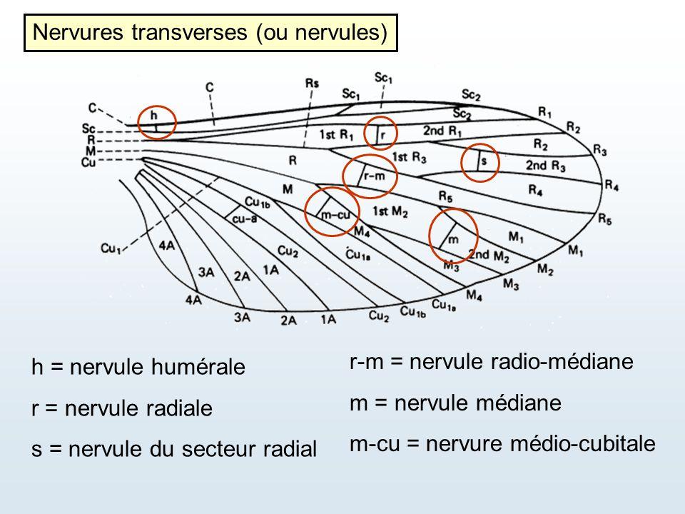h = nervule humérale r = nervule radiale s = nervule du secteur radial r-m = nervule radio-médiane m = nervule médiane m-cu = nervure médio-cubitale N