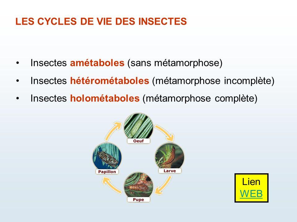 LES CYCLES DE VIE DES INSECTES Insectes amétaboles (sans métamorphose) Insectes hétérométaboles (métamorphose incomplète) Insectes holométaboles (méta