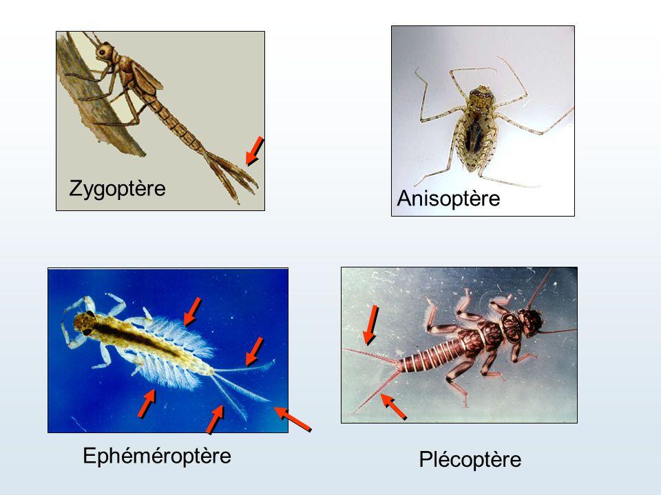 Ephéméroptère Plécoptère Zygoptère Anisoptère
