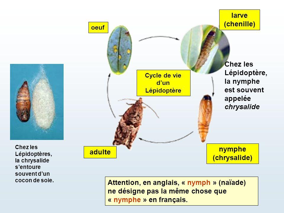 adulte Cycle de vie d'un Lépidoptère larve (chenille) nymphe (chrysalide) oeuf Chez les Lépidoptère, la nymphe est souvent appelée chrysalide Chez les