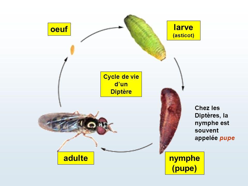 oeuf larve (asticot) nymphe (pupe) adulte Cycle de vie d'un Diptère Chez les Diptères, la nymphe est souvent appelée pupe
