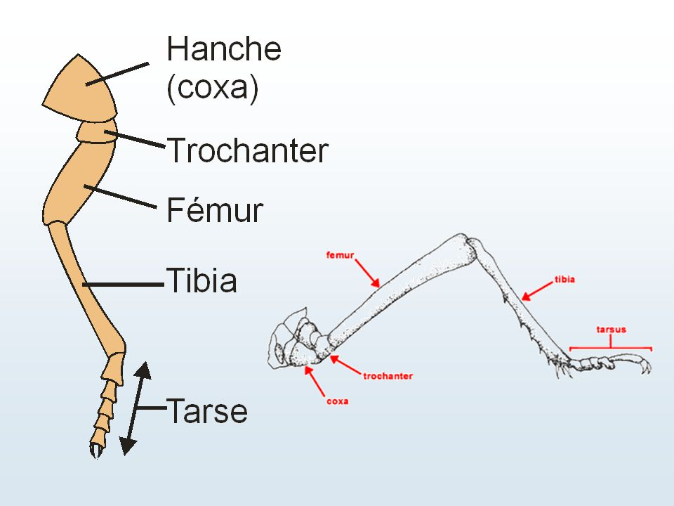 Insectes amétaboles (sans métamorphose) Protoures, Thysanoures, Collemboles Jeune identique à l'adulte (sauf organes reproducteurs)