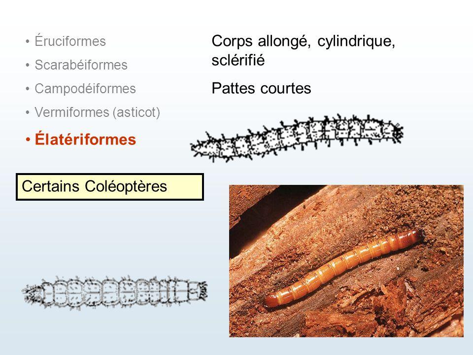 Éruciformes Scarabéiformes Campodéiformes Vermiformes (asticot) Élatériformes Corps allongé, cylindrique, sclérifié Pattes courtes Certains Coléoptère