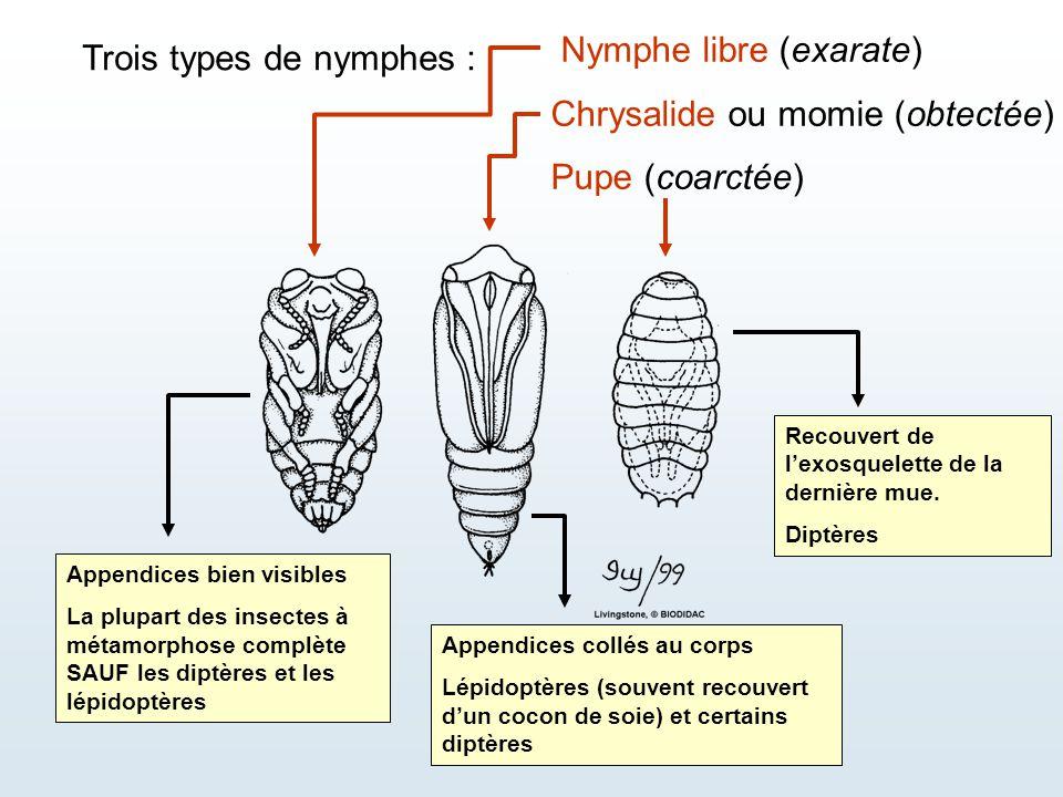 Trois types de nymphes : Nymphe libre (exarate) Chrysalide ou momie (obtectée) Pupe (coarctée) Appendices bien visibles La plupart des insectes à méta
