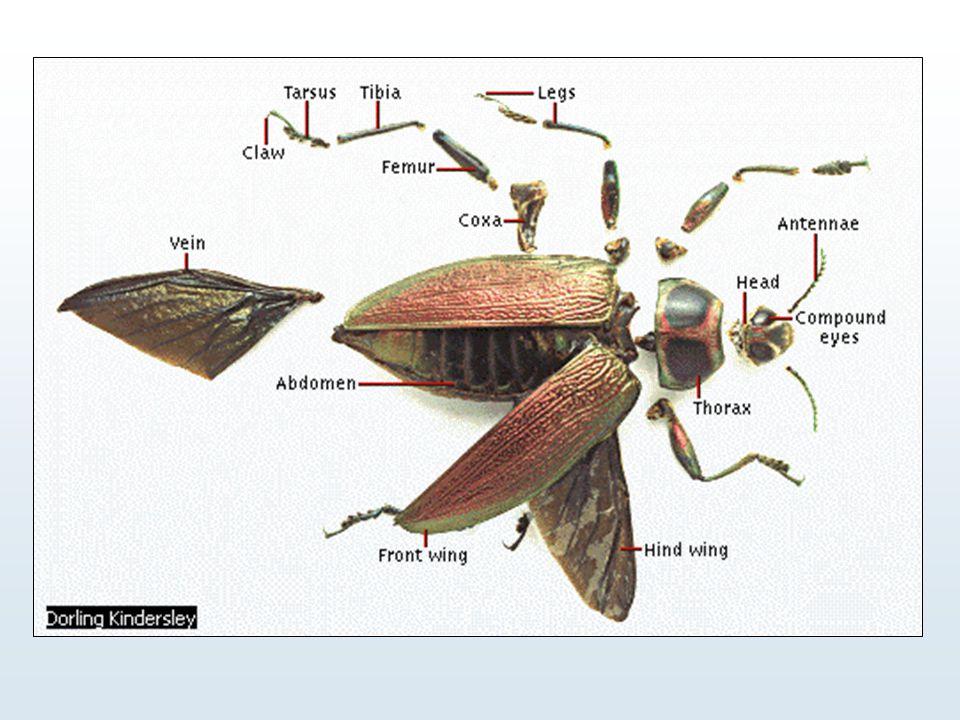 Variations dans la forme des antennes Claviforme : le diamètre des segments augmente continuellement de la base à l'extrémité Arista LIEN WEB WEB Style pectiné = en forme de peigne
