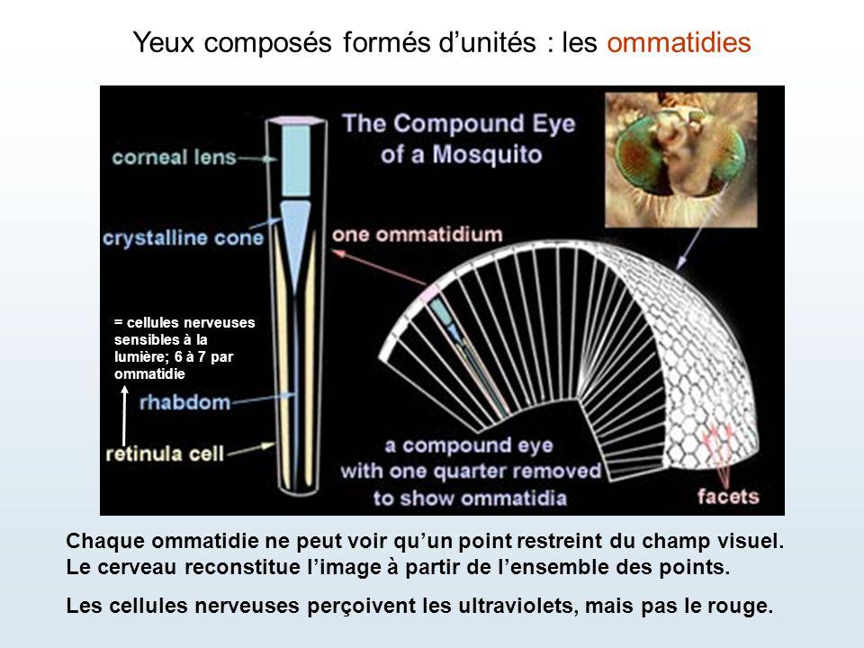 Yeux composés formés d'unités : les ommatidies Chaque ommatidie ne peut voir qu'un point restreint du champ visuel. Le cerveau reconstitue l'image à p