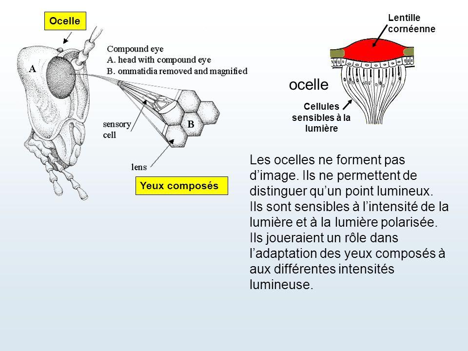 Ocelle Yeux composés Cellules sensibles à la lumière ocelle Les ocelles ne forment pas d'image. Ils ne permettent de distinguer qu'un point lumineux.