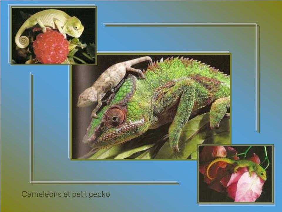 Caméléons et petit gecko
