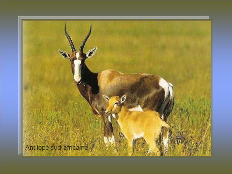 Antilope sud-africaine