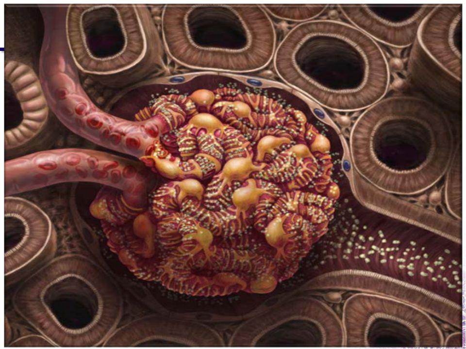 Le Débit de Filtration Glomérulaire Débit Sanguin Rénal = 25% Débit Cardiaque = 1200 ml/min 10% de ce volume est filtré, soit 120 ml/min Débit de Filtration Glomérulaire (DFG)