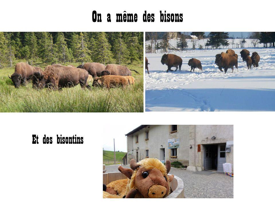 On a même des bisons Et des bisontins