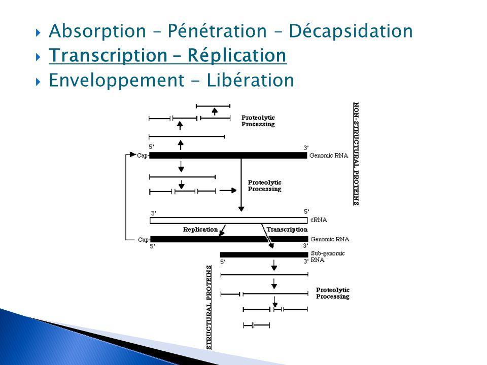  Absorption – Pénétration – Décapsidation  Transcription – Réplication  Enveloppement - Libération