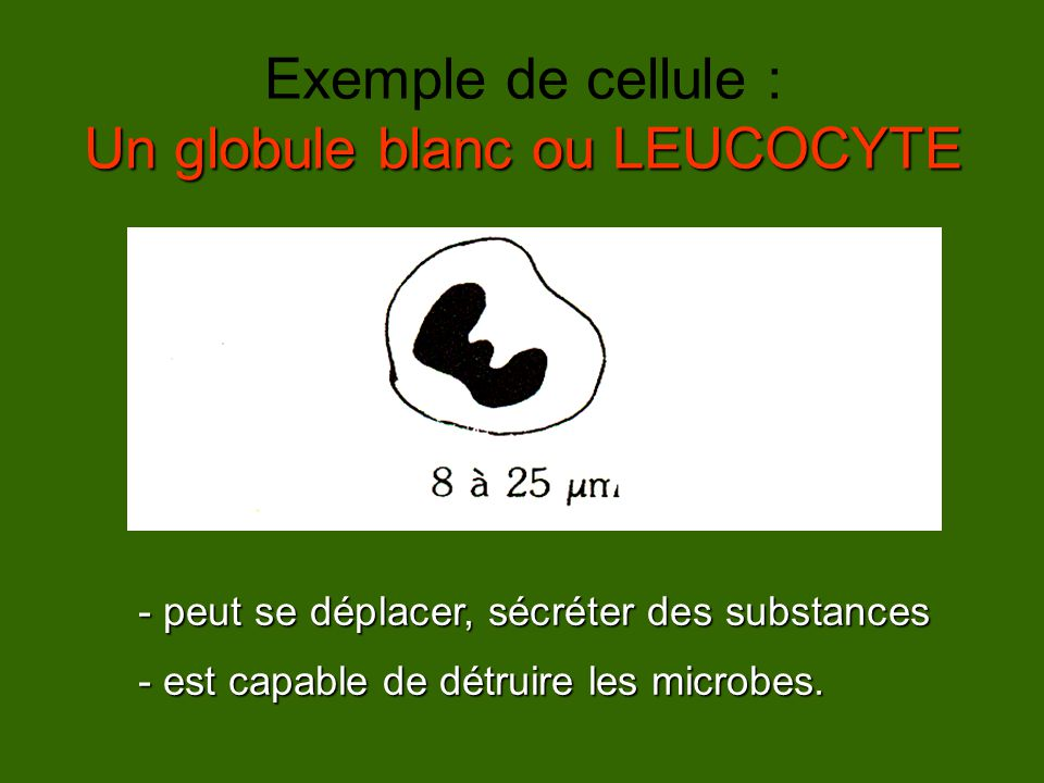 Un globule blanc ou LEUCOCYTE Exemple de cellule : Un globule blanc ou LEUCOCYTE - peut se déplacer, sécréter des substances - est capable de détruire