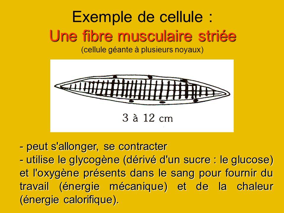 Une fibre musculaire striée Exemple de cellule : Une fibre musculaire striée (cellule géante à plusieurs noyaux) - peut s'allonger, se contracter - ut