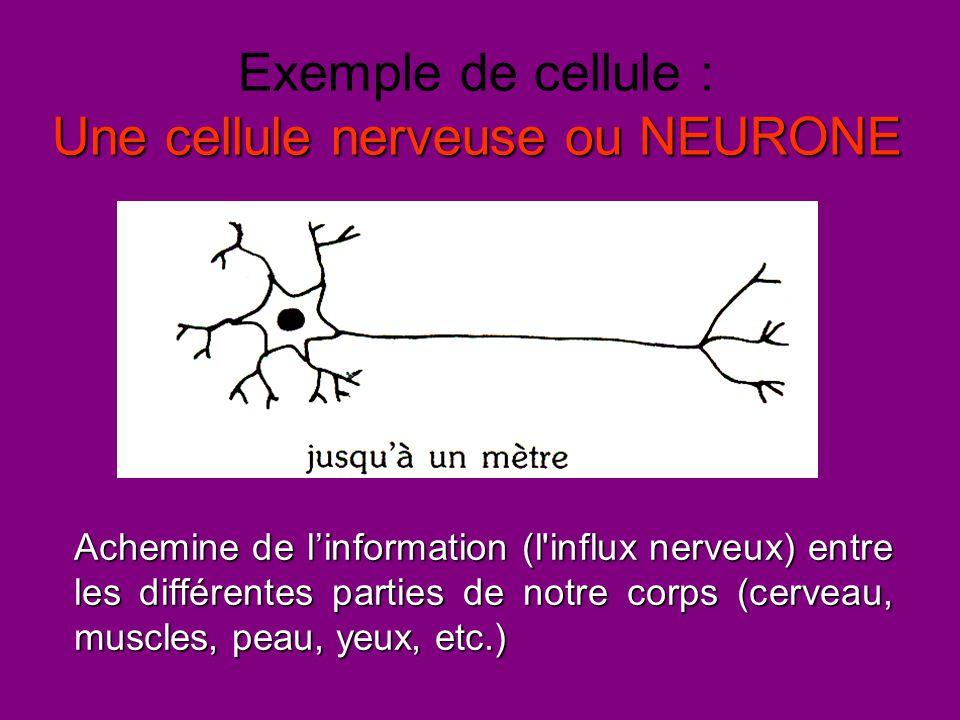 Une cellule nerveuse ou NEURONE Exemple de cellule : Une cellule nerveuse ou NEURONE Achemine de l'information (l'influx nerveux) entre les différente