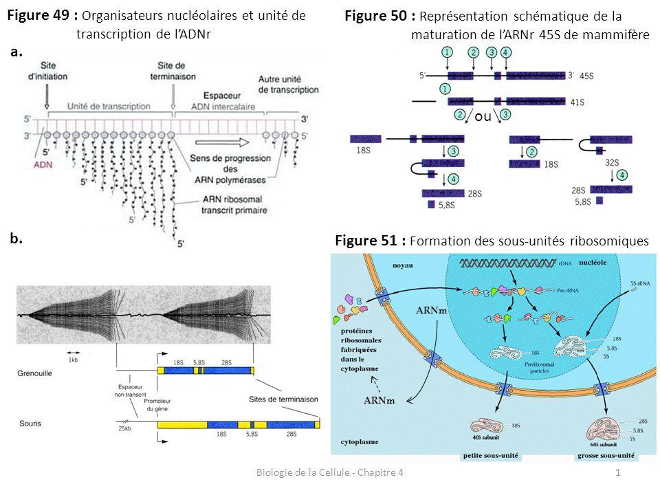 1 Figure 49 : Organisateurs nucléolaires et unité de transcription de l'ADNr Biologie de la Cellule - Chapitre 4 a. b. Figure 50 : Représentation sché