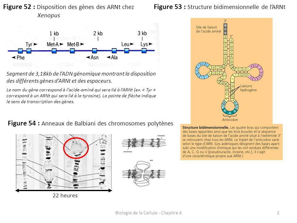 2 Figure 52 : Disposition des gènes des ARNt chez Xenopus Biologie de la Cellule - Chapitre 4 Figure 53 : Structure bidimensionnelle de l'ARNt Segment