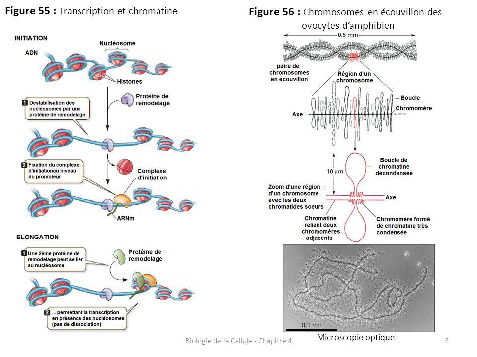 3 Figure 55 : Transcription et chromatine Biologie de la Cellule - Chapitre 4 Figure 56 : Chromosomes en écouvillon des ovocytes d'amphibien Microscop