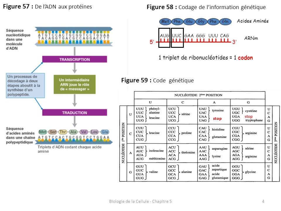 4 Figure 57 : De l'ADN aux protéines Biologie de la Cellule - Chapitre 5 Figure 58 : Codage de l'information génétique MetPheGluGlyPheGln Acides Aminé