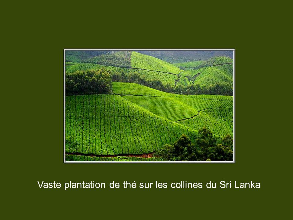 Vaste plantation de thé sur les collines du Sri Lanka