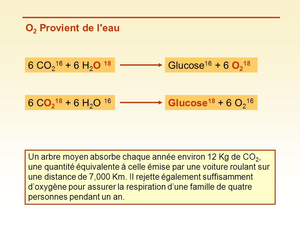 O 2 Provient de l'eau 6 CO 2 16 + 6 H 2 O 18 Glucose 16 + 6 O 2 18 6 CO 2 18 + 6 H 2 O 16 Glucose 18 + 6 O 2 16 Un arbre moyen absorbe chaque année en