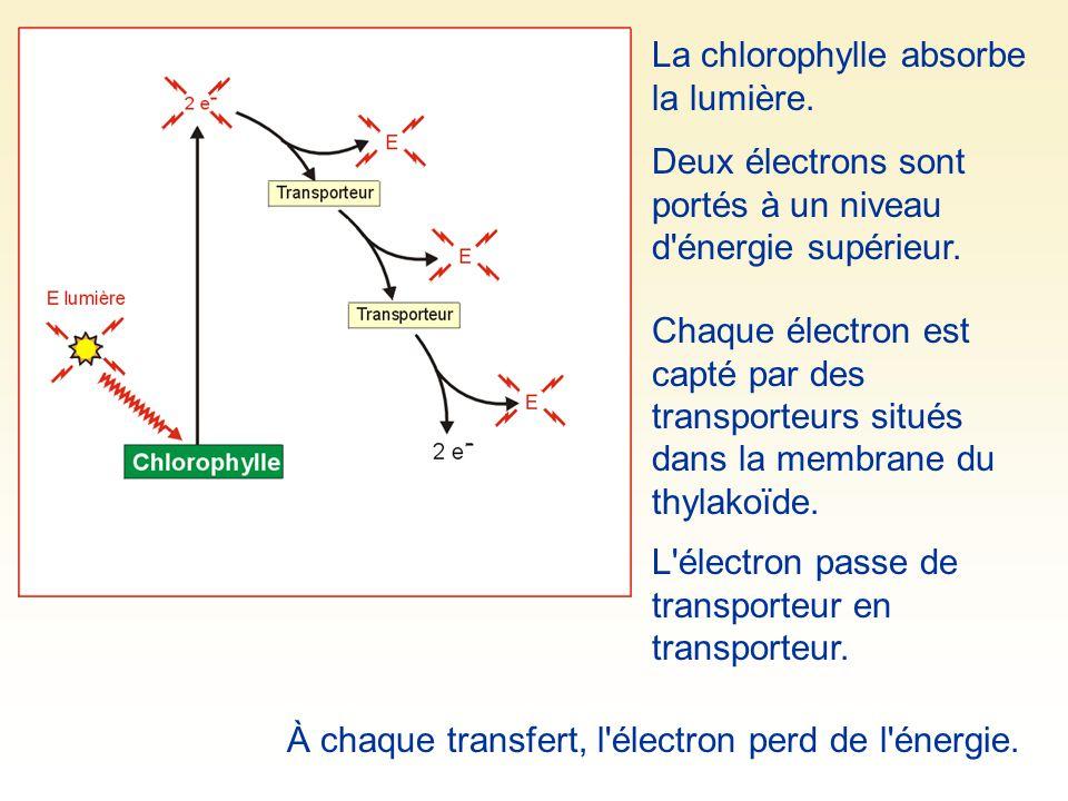 La chlorophylle absorbe la lumière. Deux électrons sont portés à un niveau d'énergie supérieur. Chaque électron est capté par des transporteurs situés