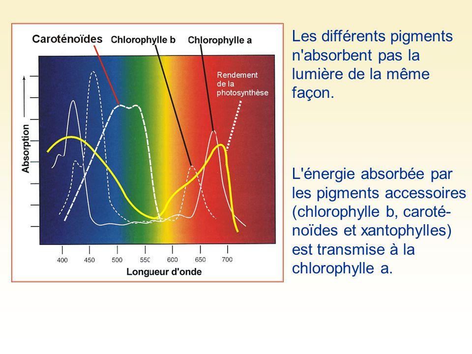 Les différents pigments n'absorbent pas la lumière de la même façon. L'énergie absorbée par les pigments accessoires (chlorophylle b, caroté- noïdes e