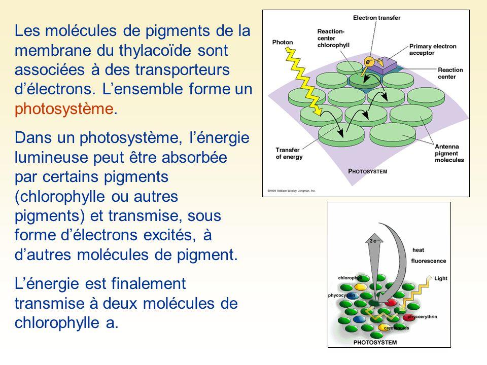 Les molécules de pigments de la membrane du thylacoïde sont associées à des transporteurs d'électrons. L'ensemble forme un photosystème. Dans un photo