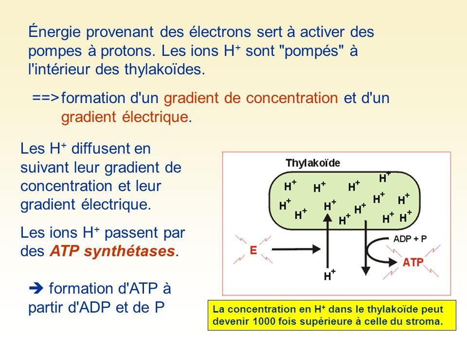 ==>formation d'un gradient de concentration et d'un gradient électrique. Les H + diffusent en suivant leur gradient de concentration et leur gradient