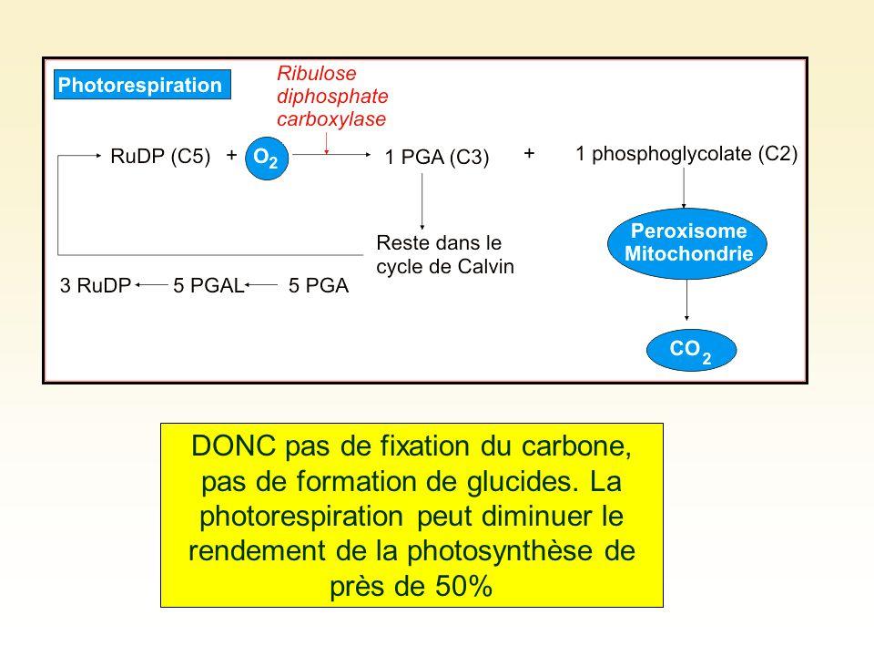 DONC pas de fixation du carbone, pas de formation de glucides. La photorespiration peut diminuer le rendement de la photosynthèse de près de 50%