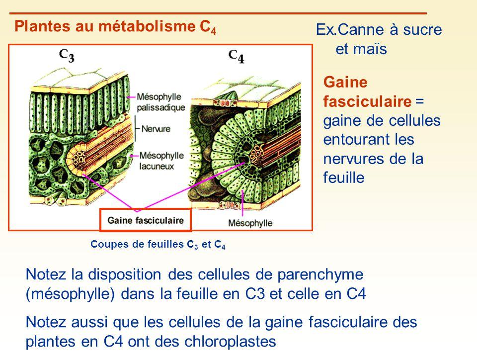 Coupes de feuilles C 3 et C 4 Plantes au métabolisme C 4 Ex.Canne à sucre et maïs Gaine fasciculaire = gaine de cellules entourant les nervures de la