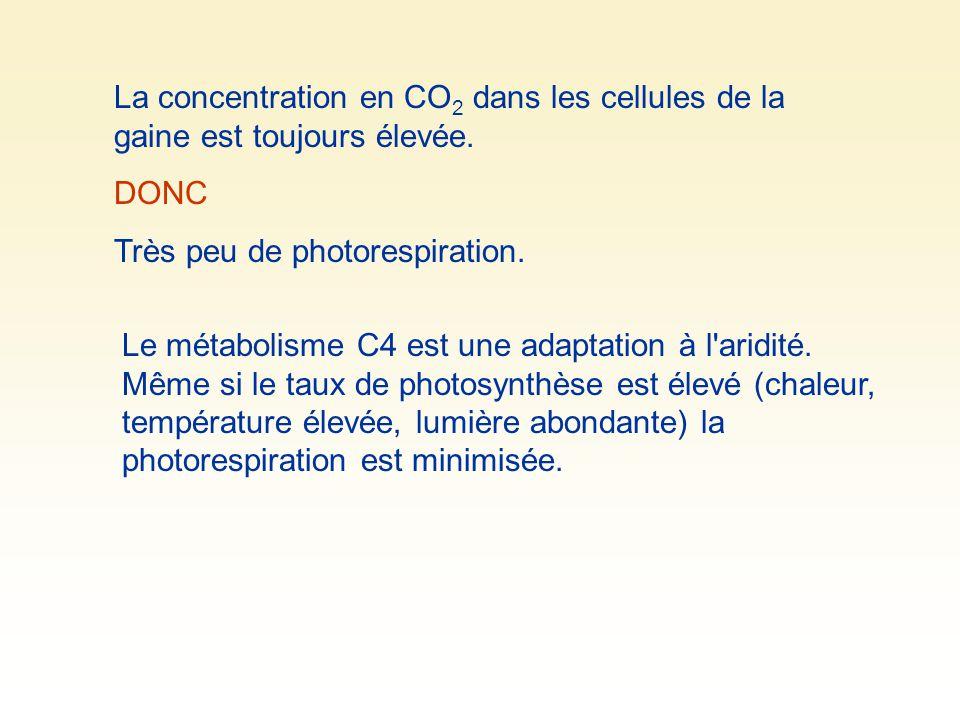La concentration en CO 2 dans les cellules de la gaine est toujours élevée. DONC Très peu de photorespiration. Le métabolisme C4 est une adaptation à