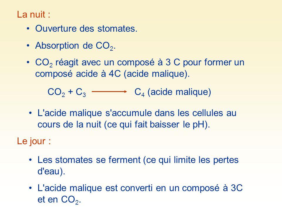 La nuit : Ouverture des stomates. Absorption de CO 2. CO 2 réagit avec un composé à 3 C pour former un composé acide à 4C (acide malique). CO 2 + C 3