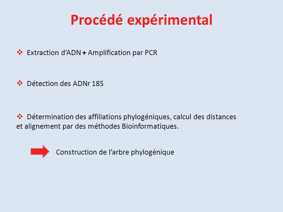 Procédé expérimental  Extraction d'ADN + Amplification par PCR Construction de l'arbre phylogénique  Détection des ADNr 18S  Détermination des affi