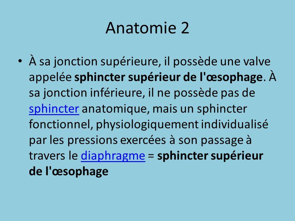 Anatomie 2 À sa jonction supérieure, il possède une valve appelée sphincter supérieur de l'œsophage. À sa jonction inférieure, il ne possède pas de sp