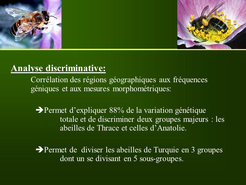 Analyse discriminative: Corrélation des régions géographiques aux fréquences géniques et aux mesures morphométriques:  Permet d'expliquer 88% de la v