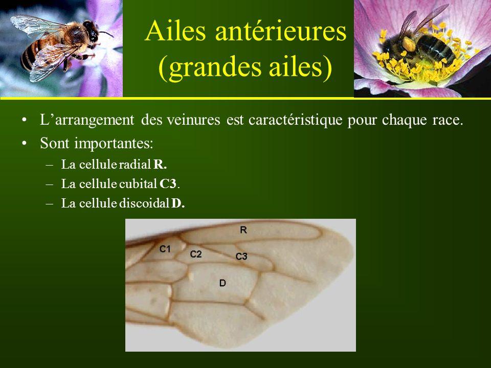 Ailes antérieures (grandes ailes) L'arrangement des veinures est caractéristique pour chaque race. Sont importantes: –La cellule radial R. –La cellule