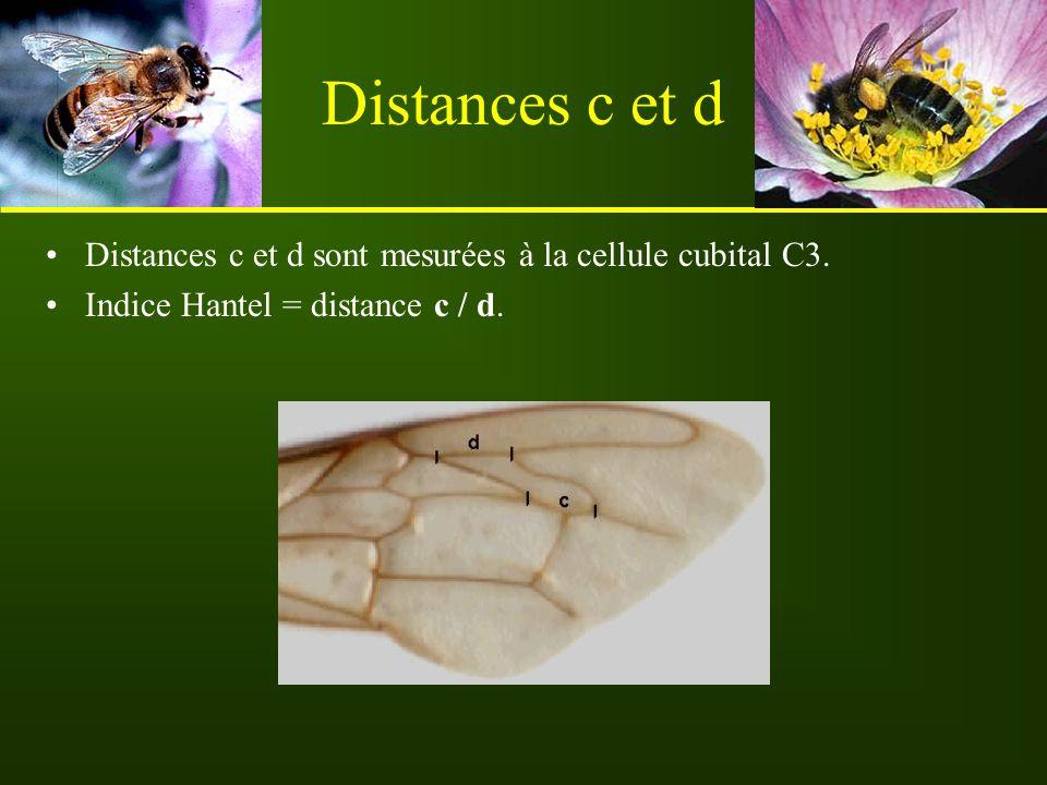 Distances c et d Distances c et d sont mesurées à la cellule cubital C3. Indice Hantel = distance c / d.